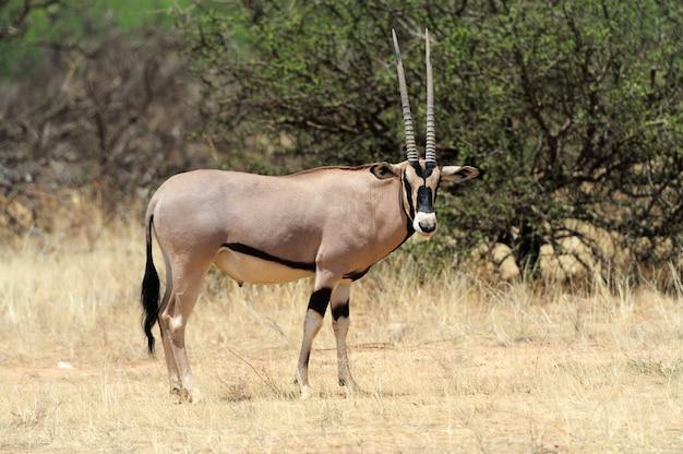 Антилопа gemsbok в парке Бесплатные Фотографии