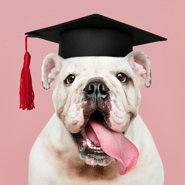 Genius bulldog puppy Premium Photo