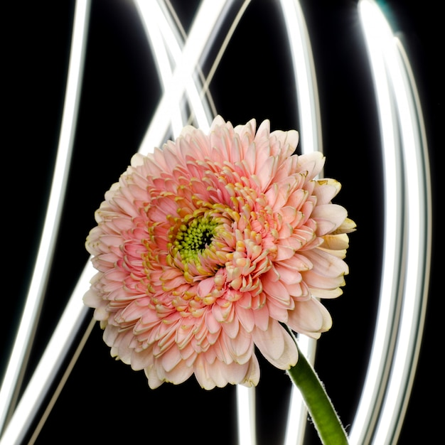 Gentle pink gerbera flower in front of abstract background. floristic backdrop. Premium Photo