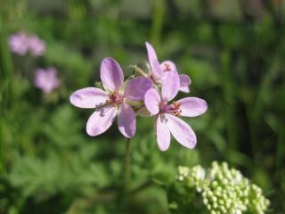Gentle purple flowers Free Photo