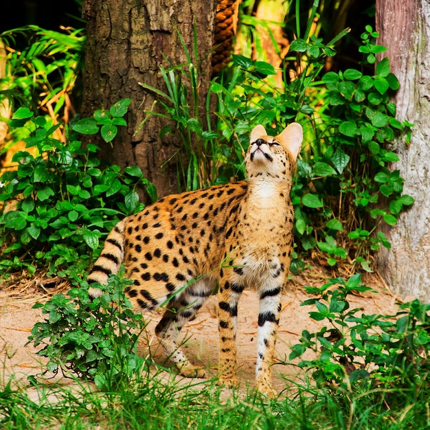 Gepard walking in green grass Premium Photo