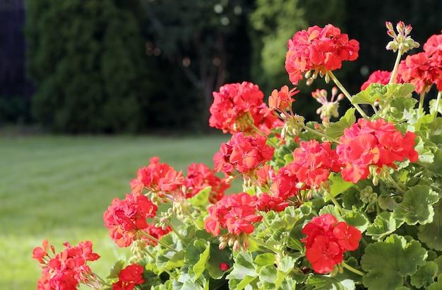 Geranium bushes Free Photo