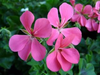 Geranium, nature Free Photo