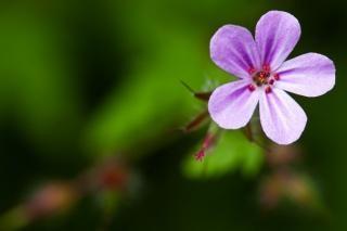 Geranium robertianum Free Photo