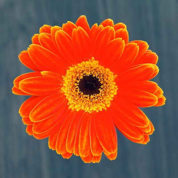 Gerber fiore isolato su sfondo marrone Foto Gratuite