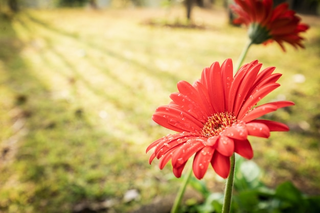 Gerbera or barberton daisy flower group blooming with water drops and sun light in garden background Premium Photo