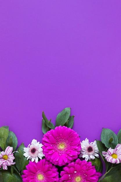 Цветы герберы на фиолетовом фоне Бесплатные Фотографии