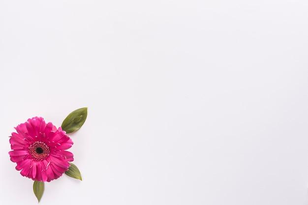 Gerbera flower on white table Free Photo