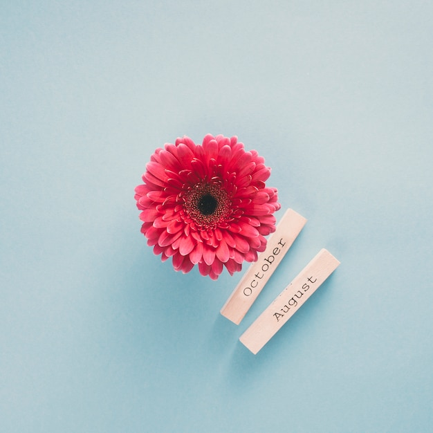 Gerbera flower with october and august inscriptions on papers Free Photo