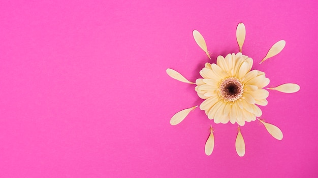 Gerbera flower with petals on table Free Photo