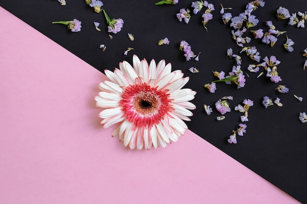 Gerbera on pink and black backdrop Free Photo