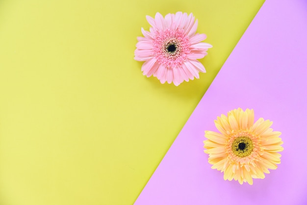 Gerbera spring flowers pink and yellow background Premium Photo