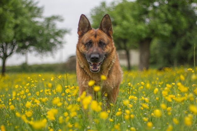 German shephard Premium Photo