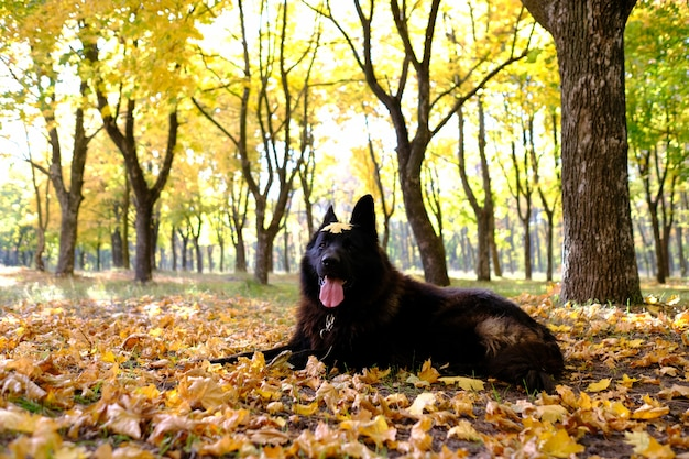 German shepherd in the autumn forest, dog agility weaves Premium Photo