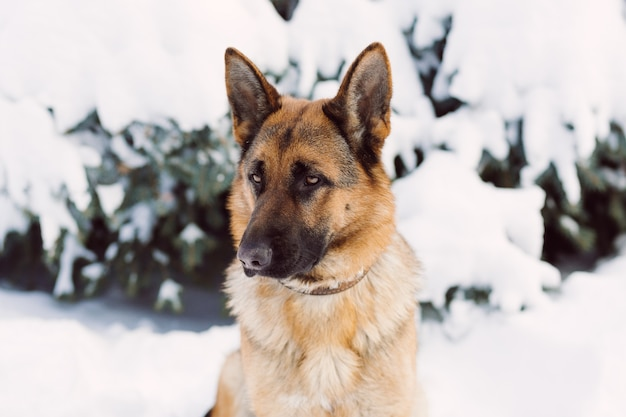 German shepherd dog, standing in the snow Premium Photo