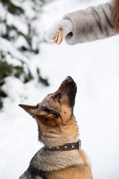 German shepherd dog training Premium Photo