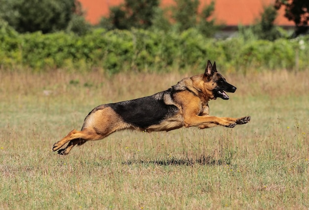 German shepherd dog Premium Photo