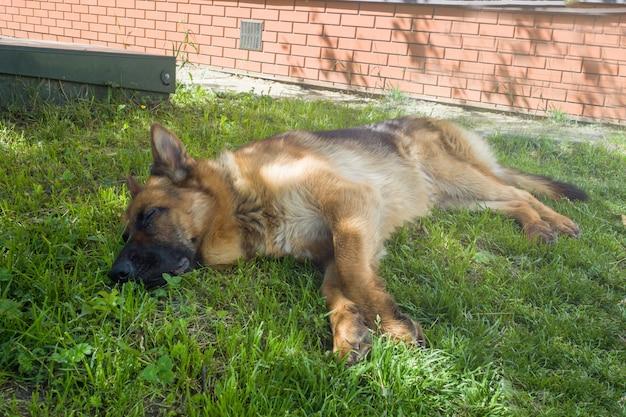German shepherd lying on the grass resting on the lawn Premium Photo