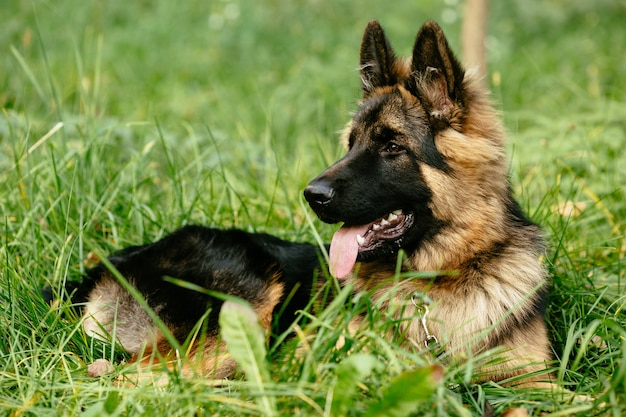 German Shepherd lying on grass Free Photo