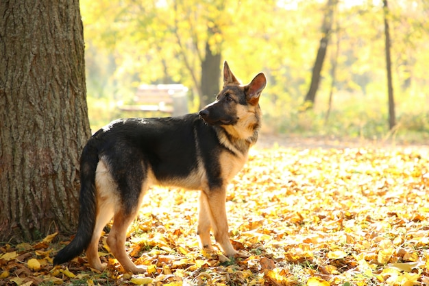 German shepherd near the tree in the autumn park. dog in forest Premium Photo