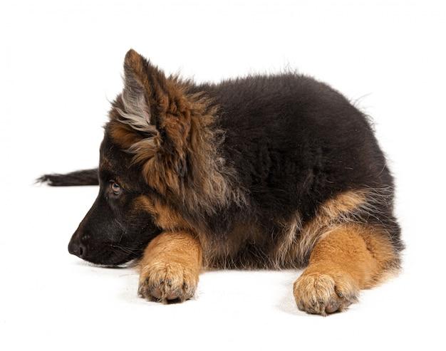 German shepherd puppy isolated on white background Premium Photo
