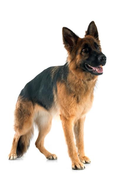 German shepherd Premium Photo