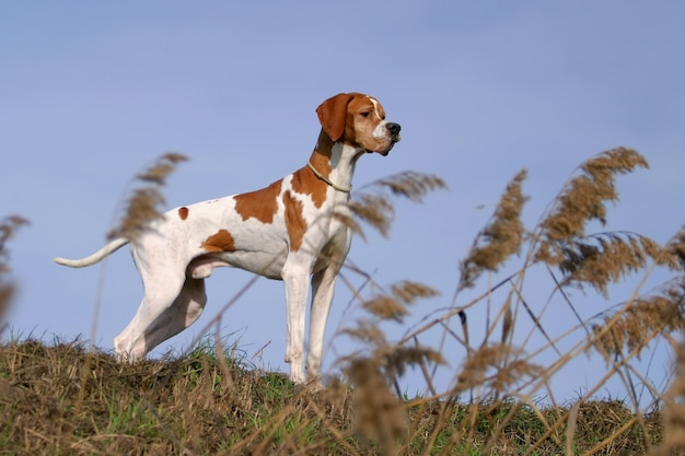 German shorthaired pointer dog Premium Photo