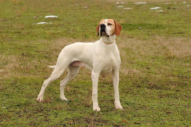 German shorthaired pointer dog Premium Photo