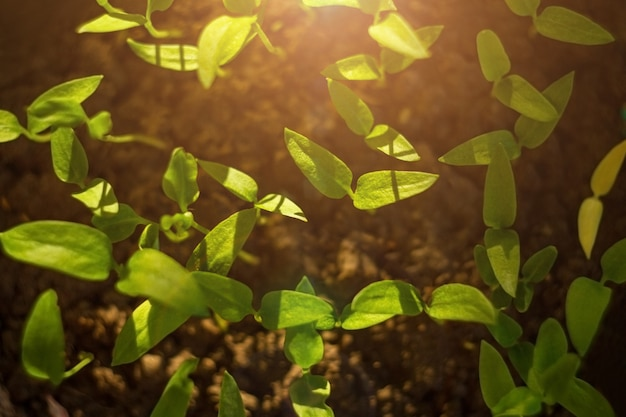Germinating seed to sprout of nut in agriculture and plant with sunlight and green background. top view. background for growing Premium Photo