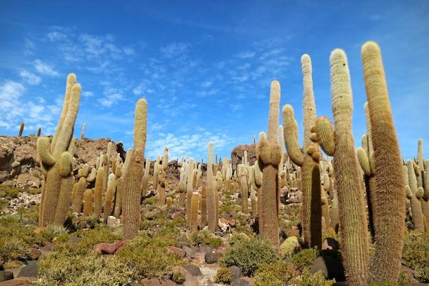 Giant cactus plants against sunny blue sky, isla del pescado(isla incahuasi), uyuni salt flats, bolivia Premium Photo