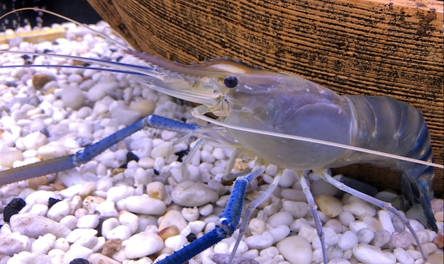 Giant freshwater prawn or giant river shrimp in tank  Photo