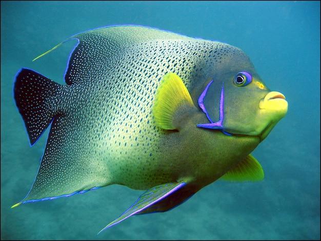 巨大な緑と黄色のサンゴ礁の魚 無料写真