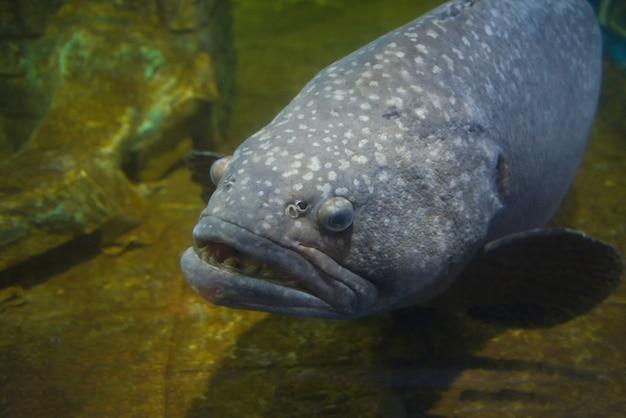 Giant grouper fish or serranidae fish swimming underwater fish tank at aquarium Premium Photo