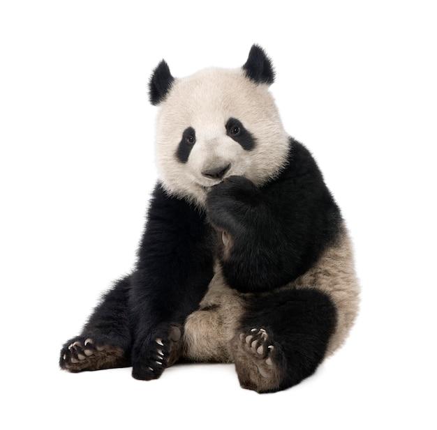 Giant panda, ailuropoda melanoleuca on a white isolated Premium Photo
