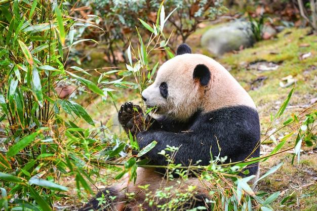 Giant panda eating bamboo in chengdu china Premium Photo