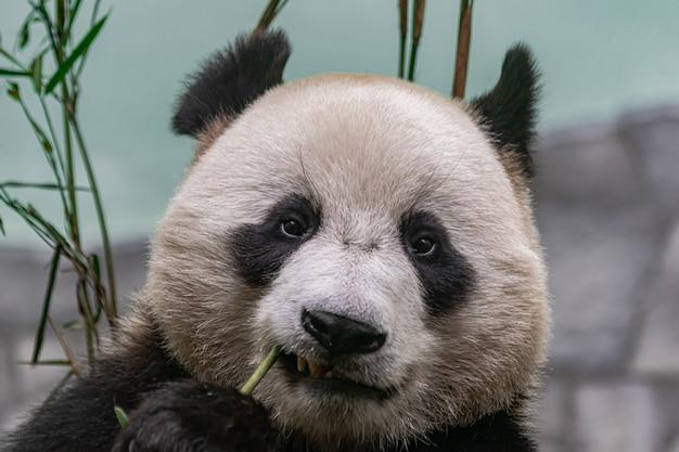 Giant panda , eating bamboo Premium Photo