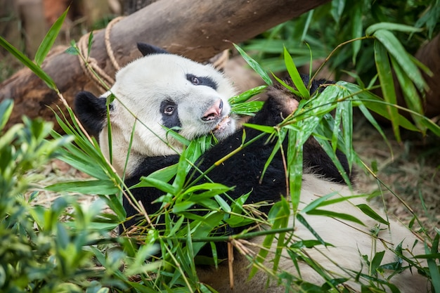 Giant panda is eating green bamboo leaf Premium Photo