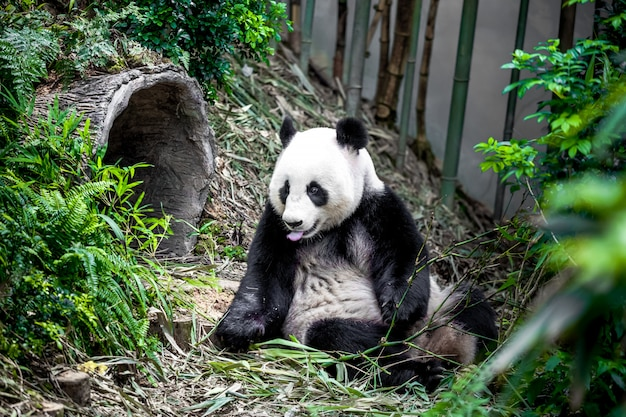 Giant panda Premium Photo