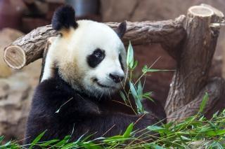 Giant panda Free Photo