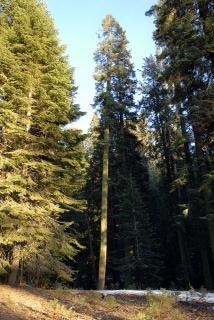 Giant pine in sequoia national park Free Photo