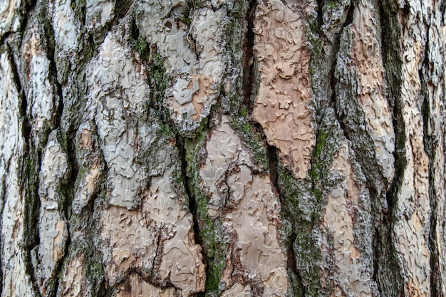 Giant pine tree texture for background in forest Premium Photo