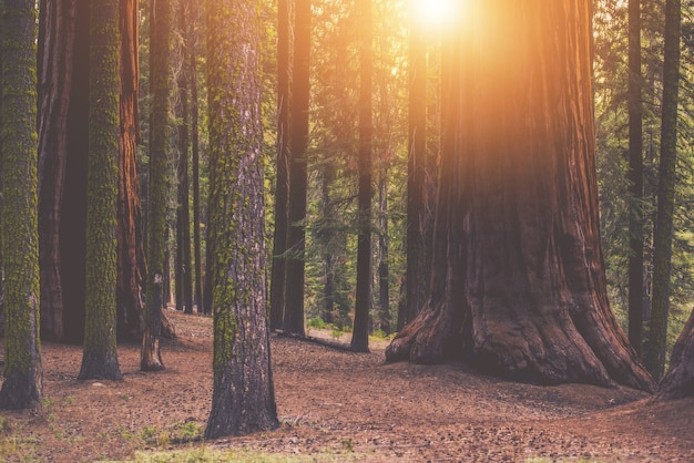Giant sequoia forest place Free Photo