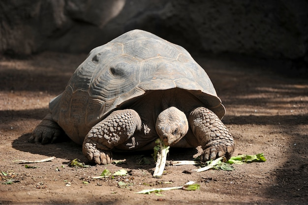 Giant turtle eats greens Premium Photo