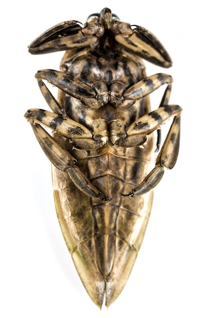 Giant water bug isolated on white background. Premium Photo