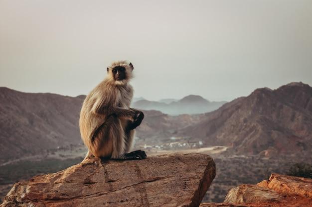 Gibbon monkey sitting on the rock and gazing with mountains in pushkar, india Free Photo