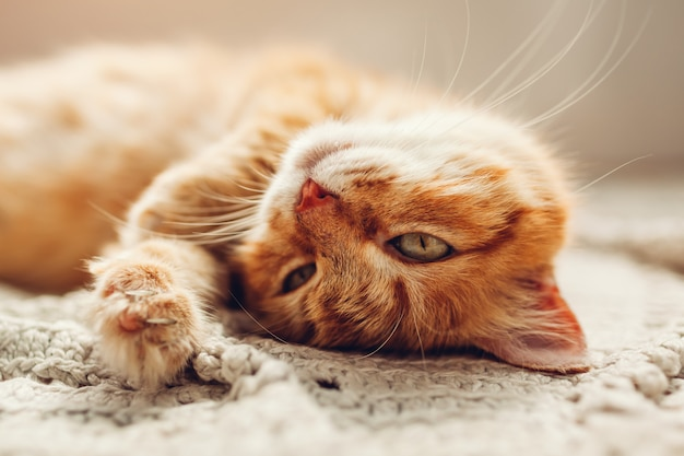 Ginger cat lying on floor rug upside down. pet relaxing and feeling comfortable at home Premium Photo
