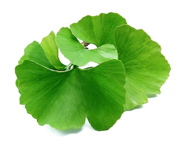 은행 나무 Biloba 잎 격리. 프리미엄 사진