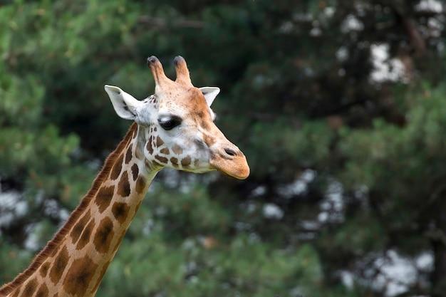 Жираф портрет Premium Фотографии