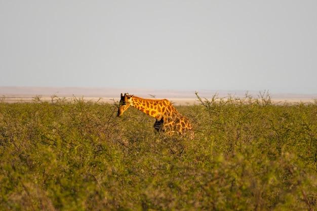 ナミビアのエトーシャ国立公園のオカウケジョにある小さな緑のアカシアの葉を食べるキリン 無料写真