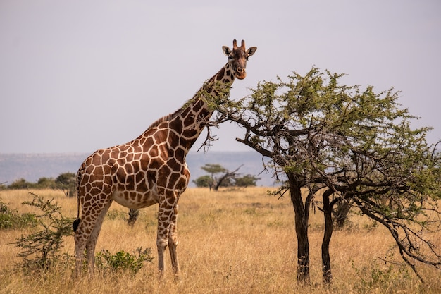 Giraffe grazing by a tree in the middle of the african jungle in samburu, kenya Free Photo